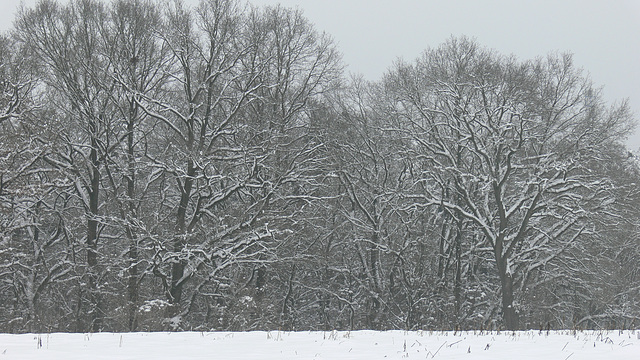 drei Bäume im Schnee