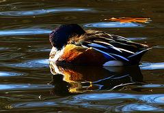 The sleeping duck