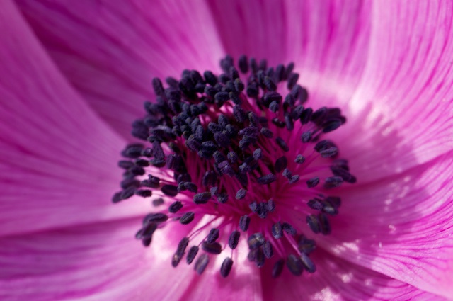 center of the anemone