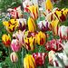 Diverskoloraj tulipoj