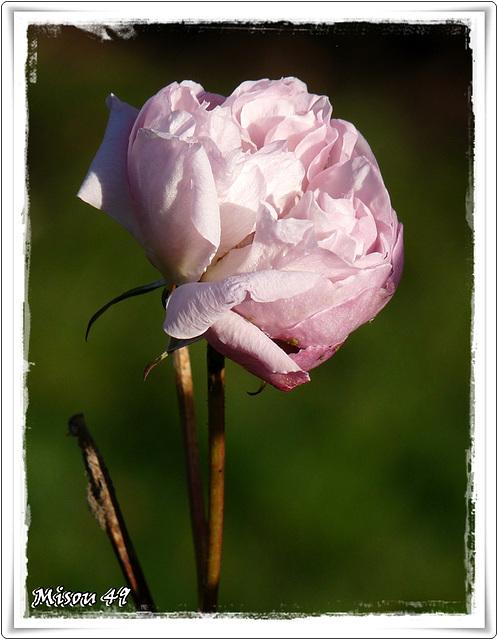 rosier Marie Rose à L'ARBORETUM