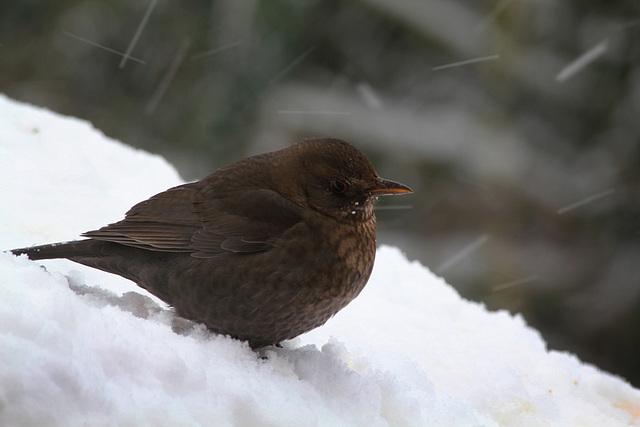Merlette sous la neige