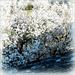White Spring dream.