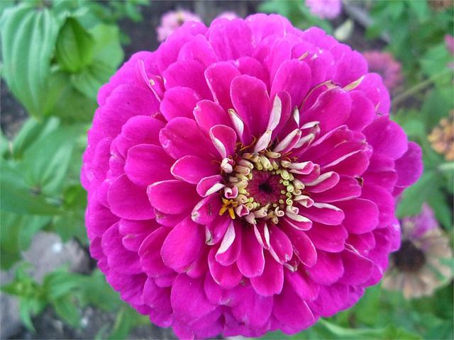 Dalia de suave color rosado