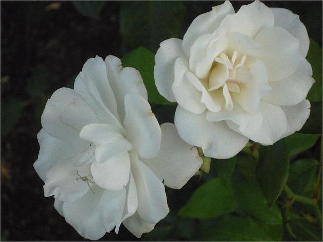 Rosas blancas de Esmeralda de Colina