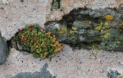 Asplenium ruta-muraria et Lichens