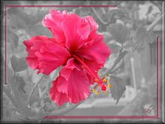 hibiscus pinkish red