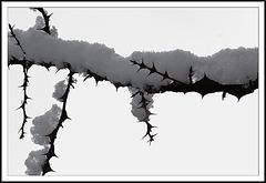 Stacheldrahtrose