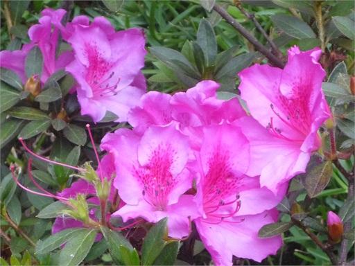 Otras flores de intenso rosa