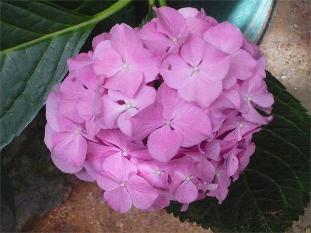 Flores rosadas esféricas