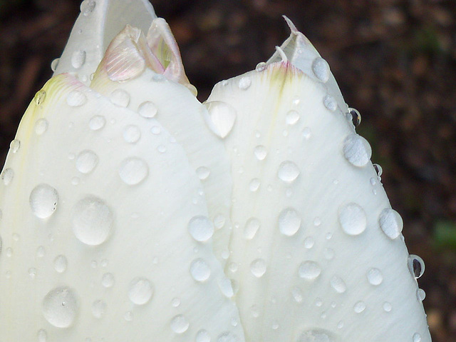 The beauty of the raindrops on tulip