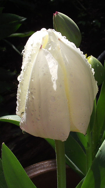 The elegance of a white tulip