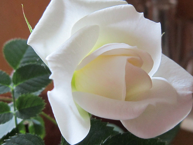 The purity of a white rose
