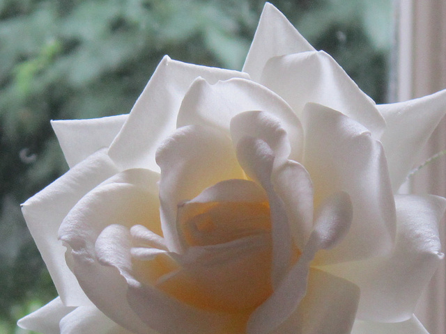 Elegant white rose