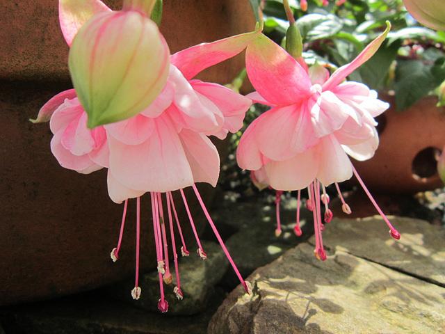 Delicate pink fuschias
