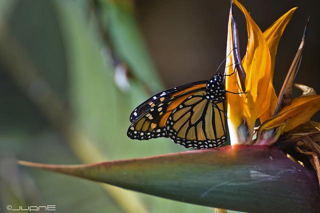 Monarca sobre  Strelitzia reginae