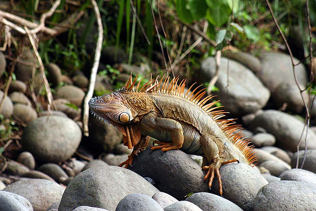 5. THIS IGUANA HAS SEEN IT ALL