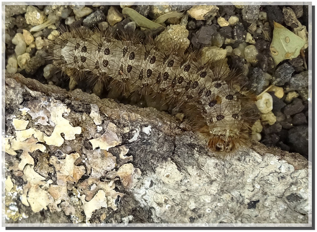 Chenille de Cymbalophora pudica