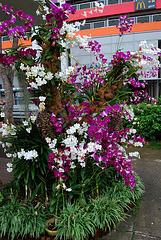 Les orchidées de Singapour