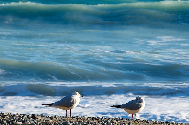 seagulls waiting for the waves!