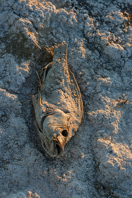 Tilapia At The New Mud Volcanoes (8484)