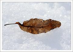 Ein Lindenblatt im Schnee...
