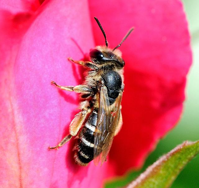 Macro d'une abeille...