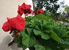 Geranium in Balboa Park (8397)