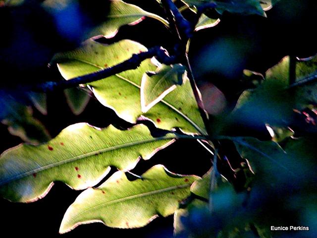 Leaves Light Edged