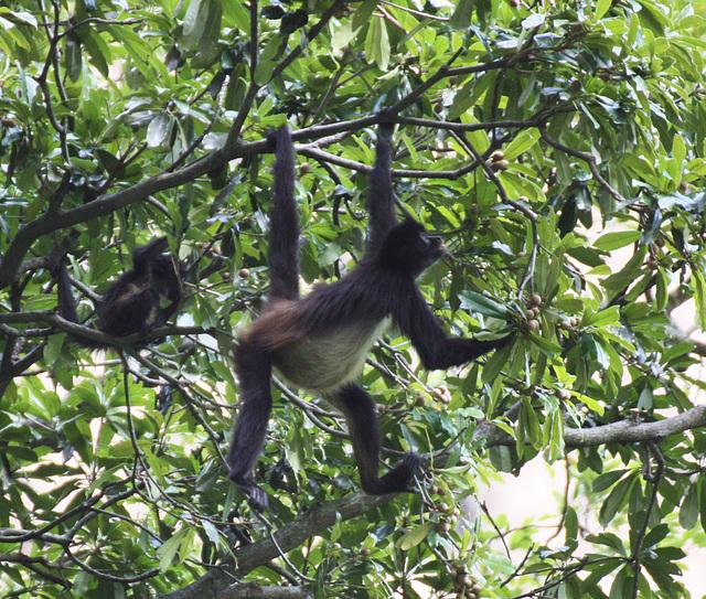 Klammeraffe auf Futtersuche /Spider monkey foraging