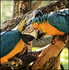 aras bleus (le calin)
