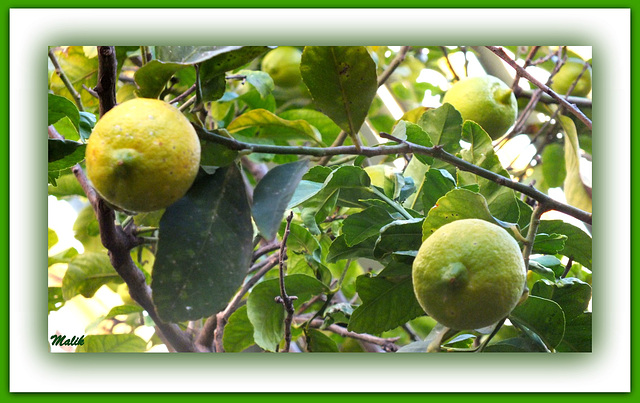 citronnier..du jardin..!