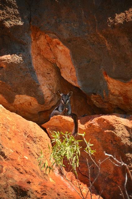 Black footed rock wallaby au milieu naturel