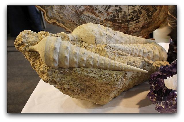 Fossiles de Cérithes - Mollusques gastéropodes