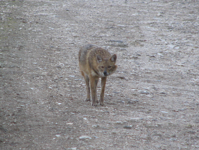 Jackal in the forest near Beit-Shemesh