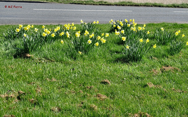 03 daffodils