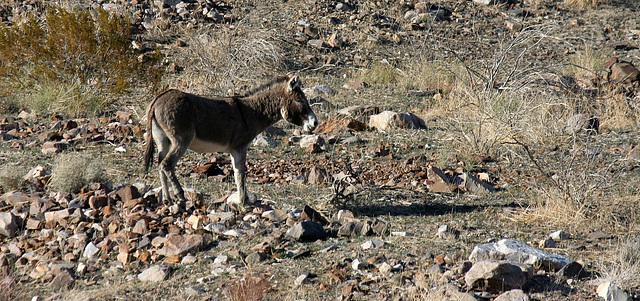 Burro In Striped Butte Valley (9755)