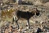 Burro In Striped Butte Valley (9756)