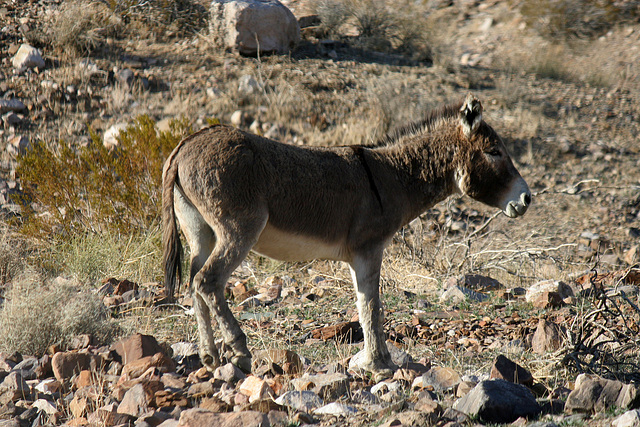 Burro In Striped Butte Valley (9756)