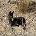 Burro In Striped Butte Valley (9757)