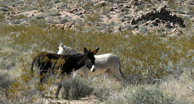 Burros In Mengel Pass (9674)