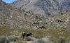 Burros In Mengel Pass (9675)