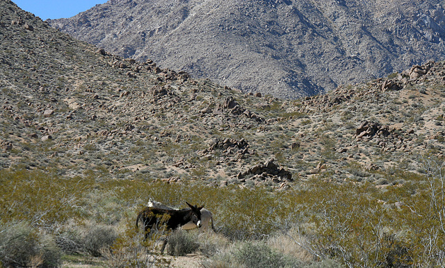 Burros In Mengel Pass (9675)