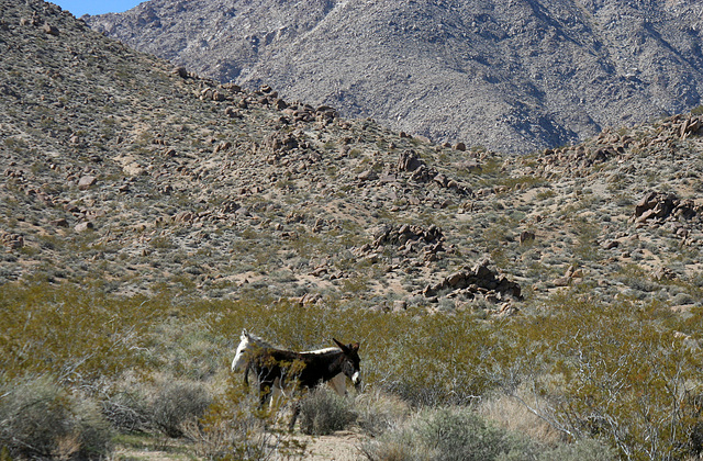 Burros In Mengel Pass (9676)