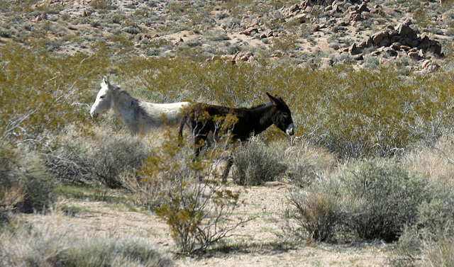 Burros In Mengel Pass (9679)