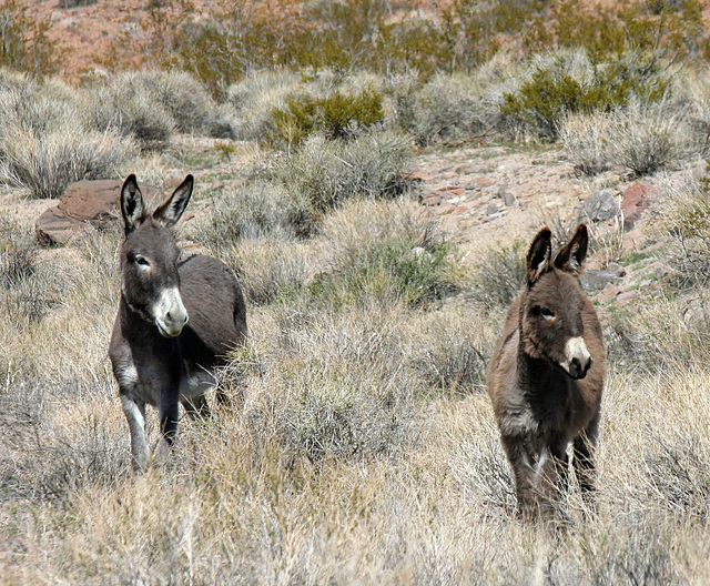 Burros In Mengel Pass (9692)