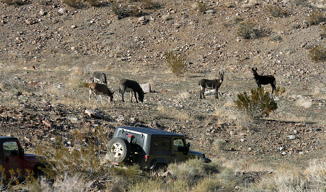 Burros In Striped Butte Valley (9751)