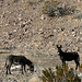 Burros In Striped Butte Valley (9753)