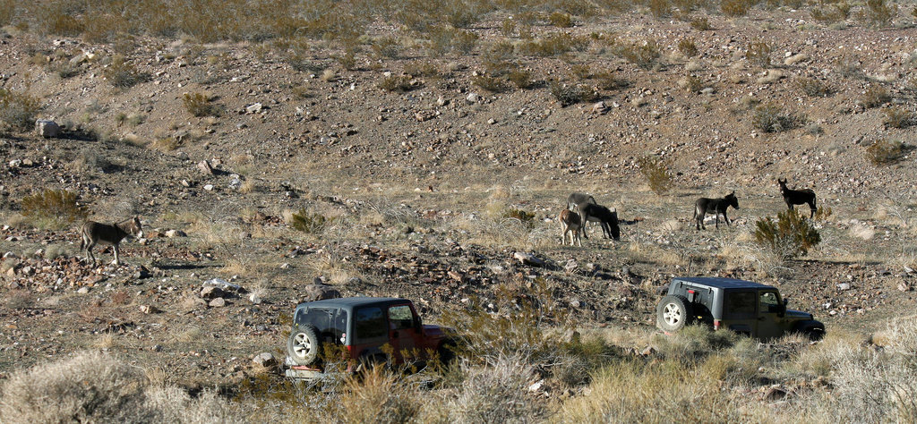 Burros In Striped Butte Valley (9754)