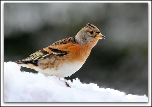 Pinson du nord en livrée hivernale
